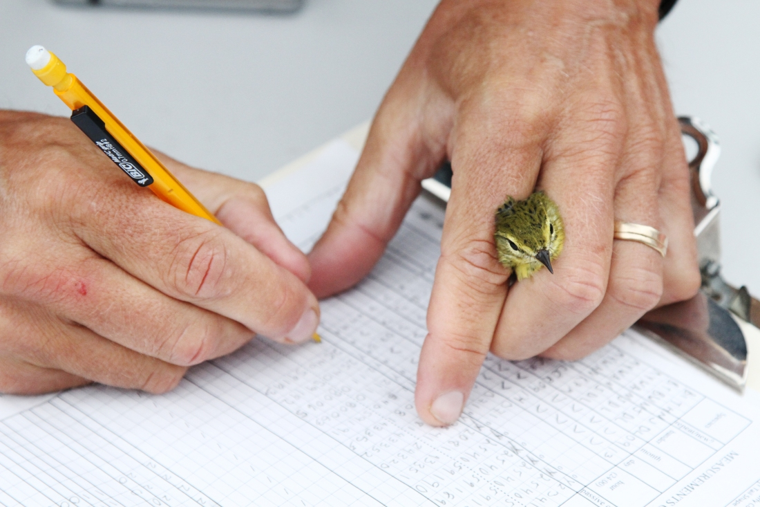 Chris Rimmer holds a warbler while taking notes on its measurements on Mount Mansfield in Vermont on August 16, 2016.